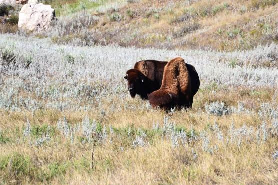 Little Herd of Bison to Enjoy