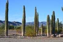 CRG saguaros with mtn backdrop