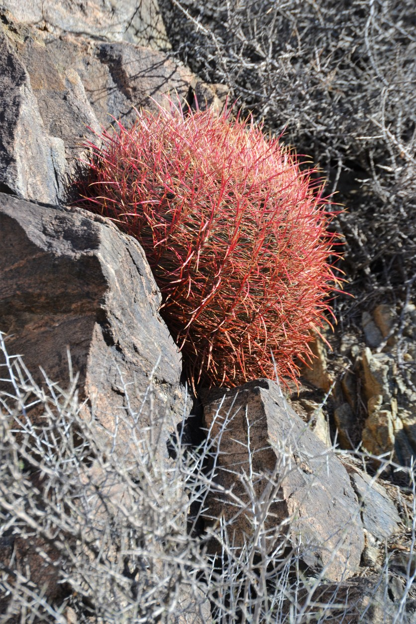 Barrel Cactus nestled on the hillside