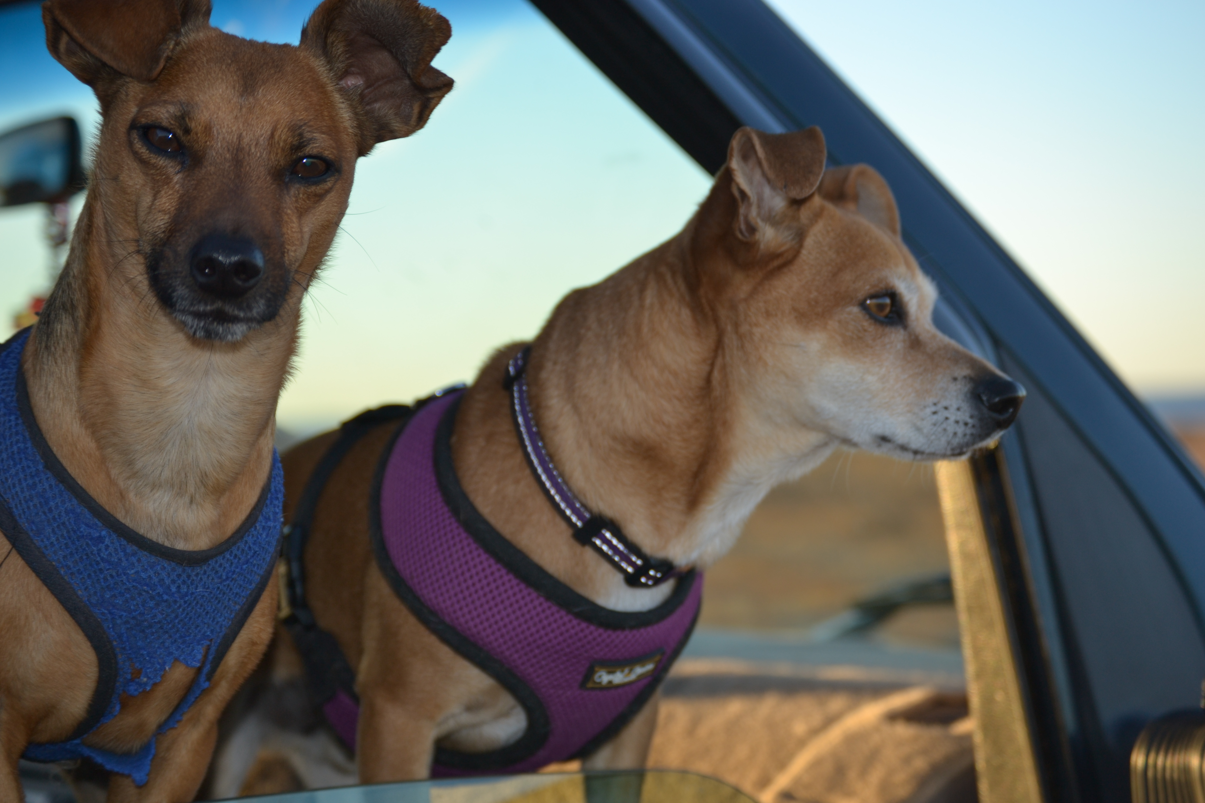 Chiweenie on Lookout Duty
