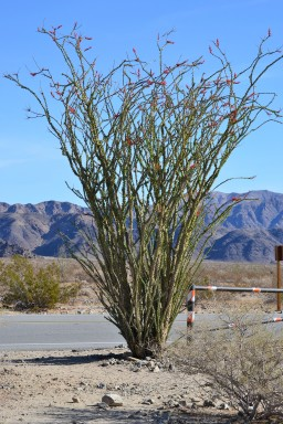 Ocotillo in Joshua Tree