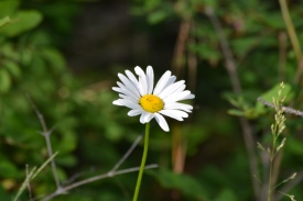 DSC_0016flower, daisy, Hwy 244 Camp