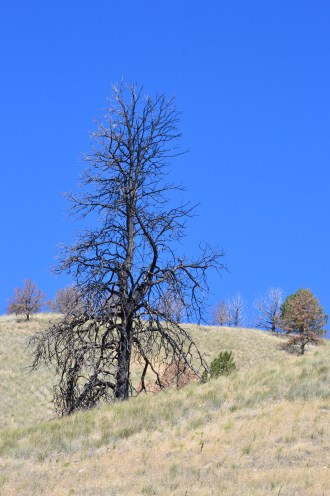 DSC_0057Burned tree and skyline Hwy 7 near Hereford OR