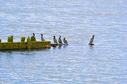 DSC_0039 (2) Comorants in the Columbia River along Carruthers Trail