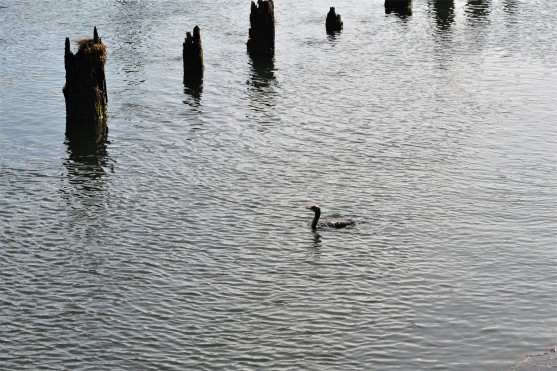 Cormorant feeding next to the wharf