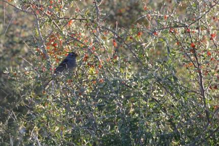 dsc_0102bird enjoying some winter berries