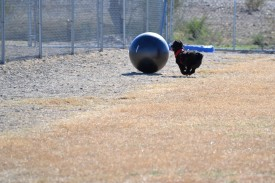 dsc_0123dog with exercise ball