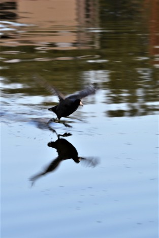 DSC_0099Coot Taking Off