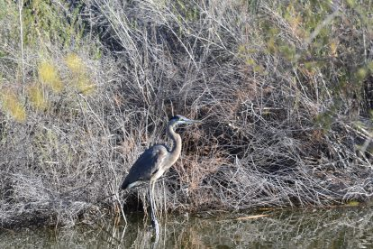 DSC_0115Blue Heron with In Focus Eye