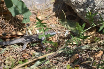 DSC_0084Alligator Lizard 2