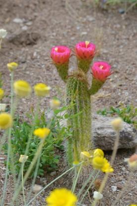DSC_0039Pink Flower Cactus