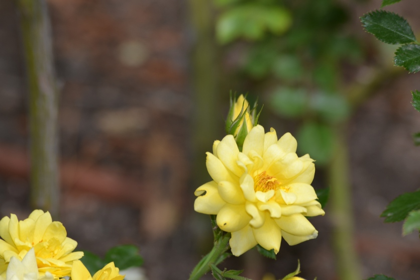 DSC_0064Arboreum.Yellow Rose