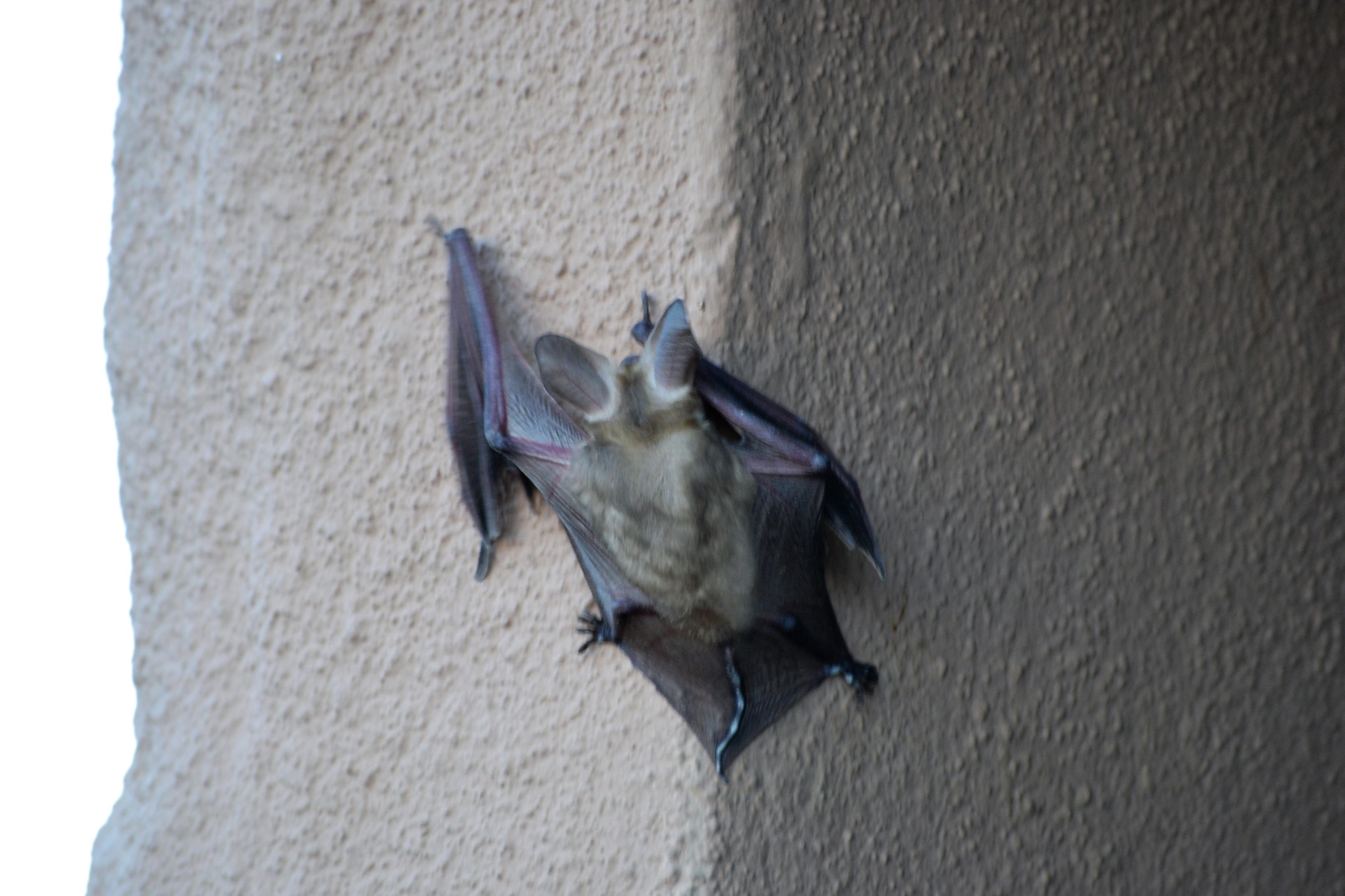 DSC_0007Bat Closeup