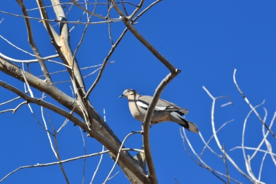 DSC_007White Winged Dove