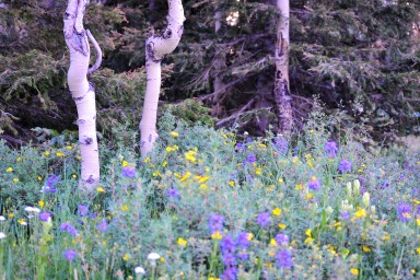 DSC_0044 (1)Aspen Trunks and flowers