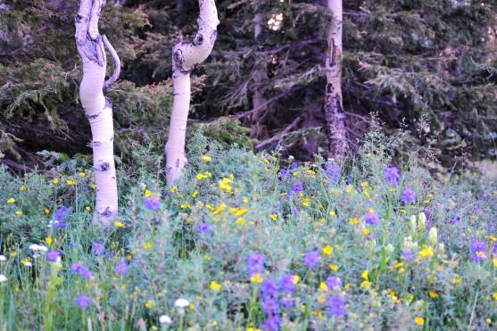 DSC_0044 (1)Aspen Trunks and flowers