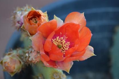 Opuntia Chenille Cactus Flower
