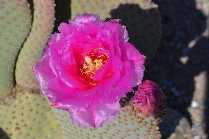 puntia cactus flower